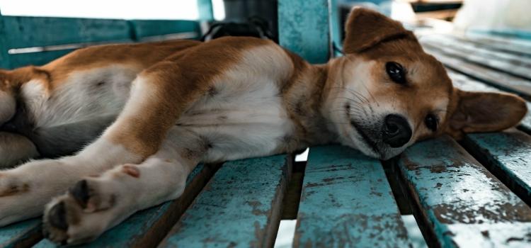 Pet super razloga zašto udomiti odraslog psa
